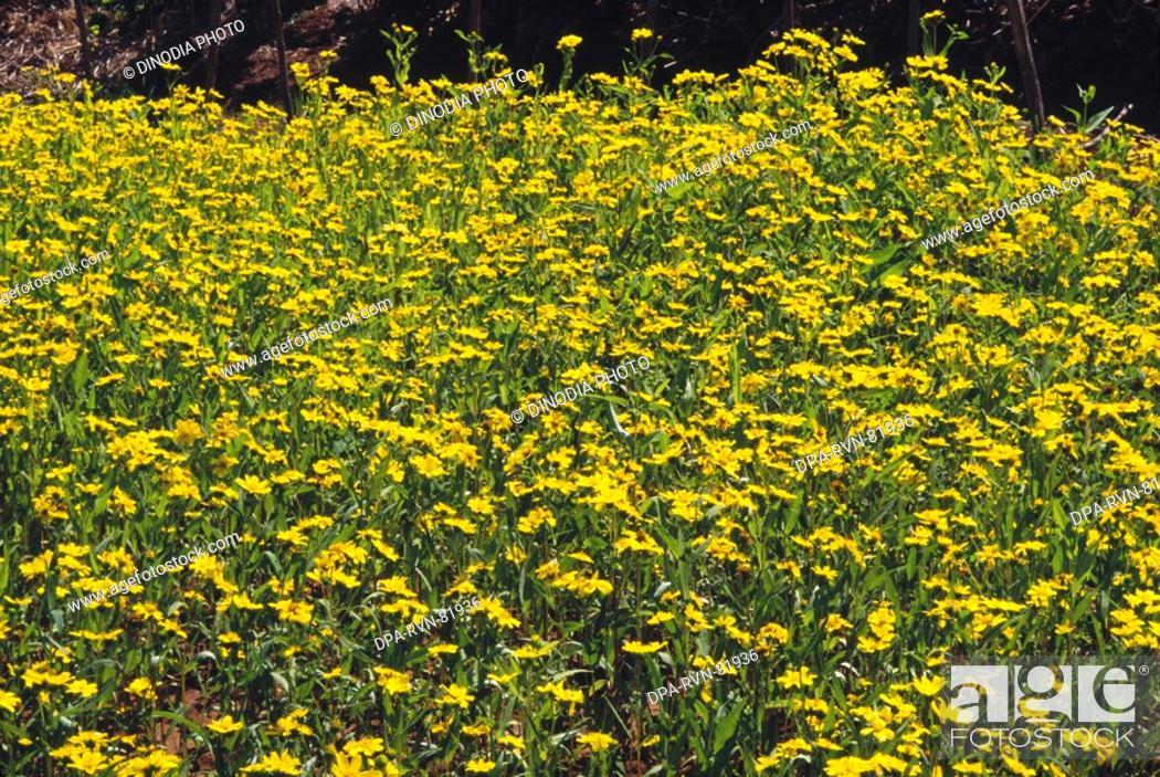 Yellow flowers black mustard crops field india stock photo stock photo yellow flowers black mustard crops field india mightylinksfo