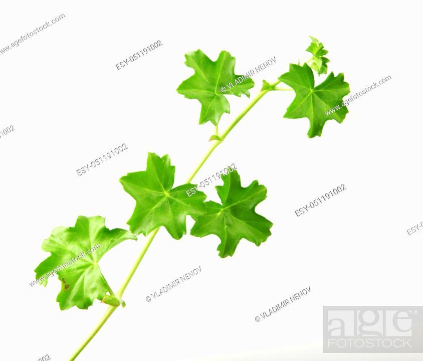 Stock Photo: Geranium Pelargonium Leaf Isolated On White Background.