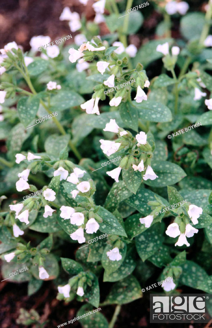 Stock Photo: Jerusalem cowslip, Lungwort, (Pulmonaria officinalis 'White wings').