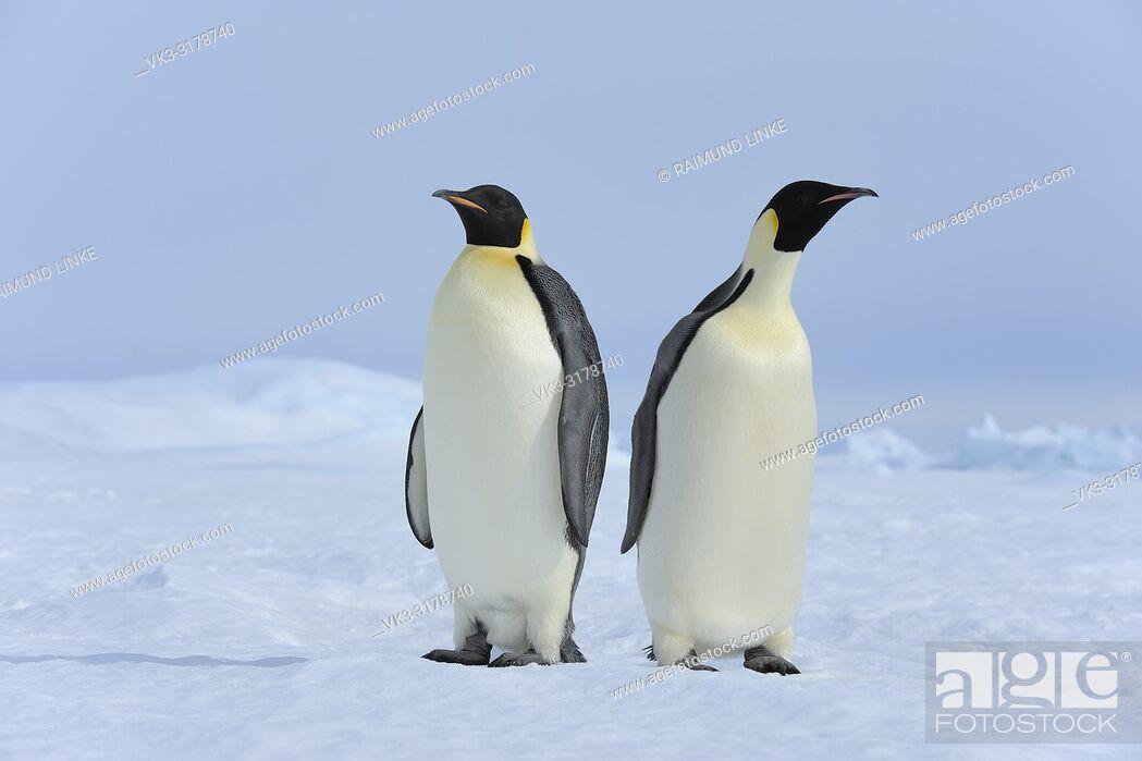 Imagen: Emperor penguins, Aptenodytes forsteri, Two Adults, Snow Hill Island, Antartic Peninsula, Antarctica.