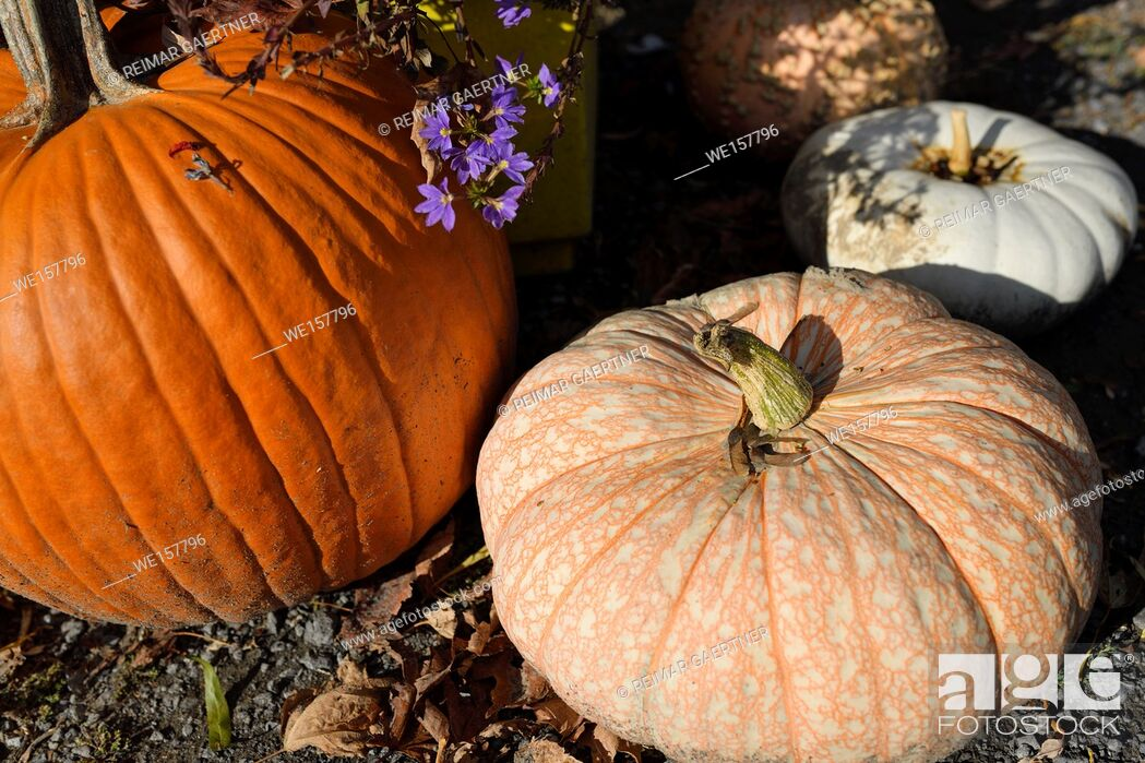 Stock Photo: One Too Many variety of white pumpkin with orange veins in outdoor Fall Market in Prince Edward County Ontario Canada.