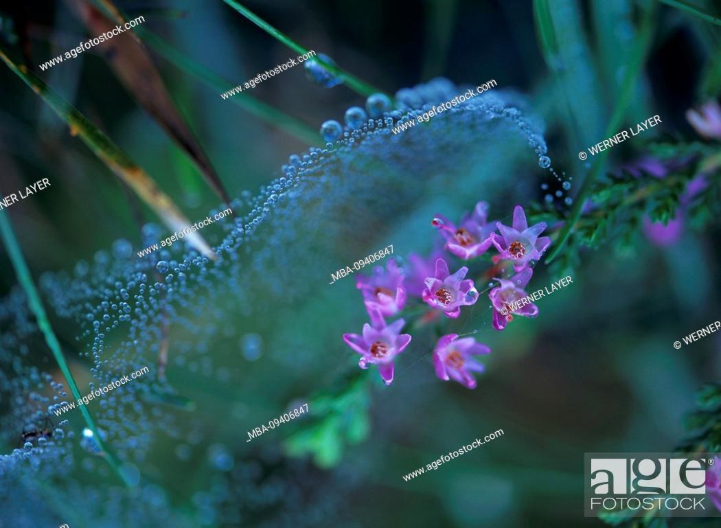 Stock Photo: Broom heath with dew Heather Calluna vulgaris.
