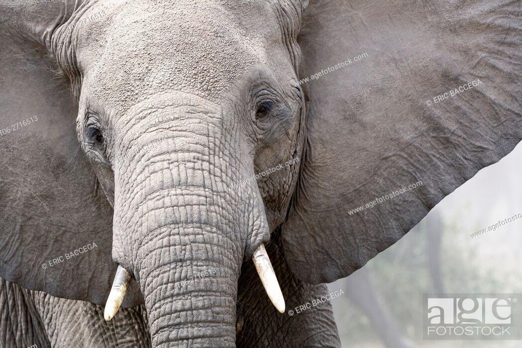 Stock Photo: African elephant head portrait (Loxodonta africana) Queen Elizabeth National Park, Uganda, Africa.
