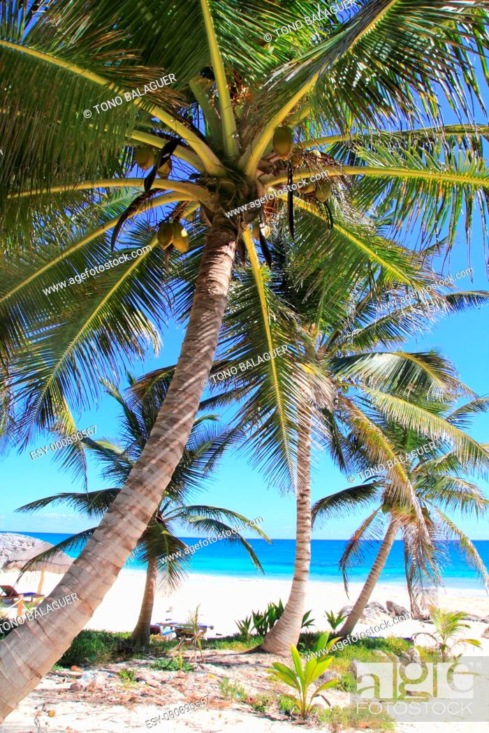 Stock Photo: Caribbean coconut palm trees in tuquoise sea.