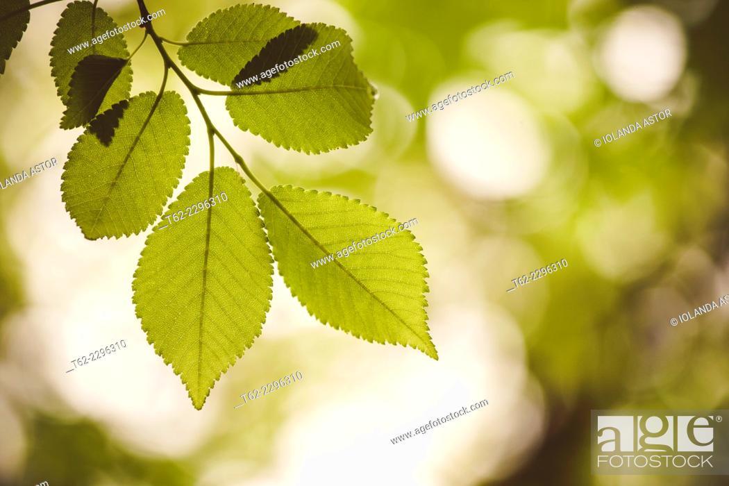 Stock Photo: Hojas en el árbol en primavera. Contraluz. Color.