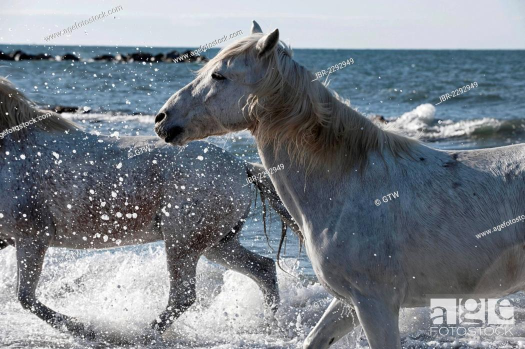 Stock Photo: Camargue horses running in the water, Bouches du Rhône, France, Europe.