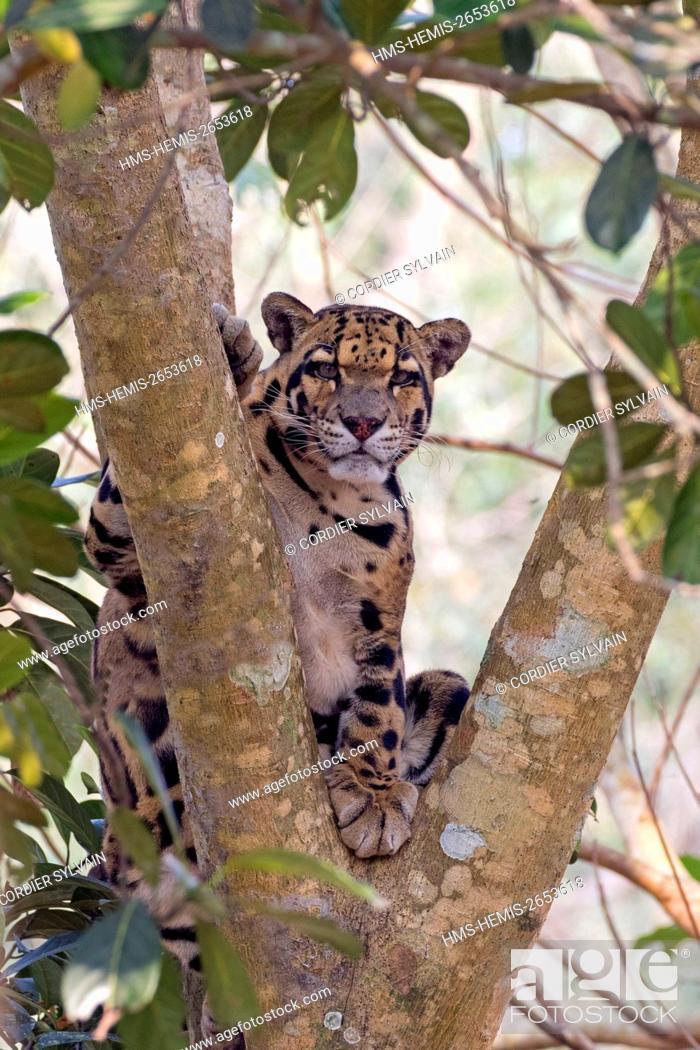 Stock Photo: India, Tripura state, Clouded leopard (Neofelis nebulosa).