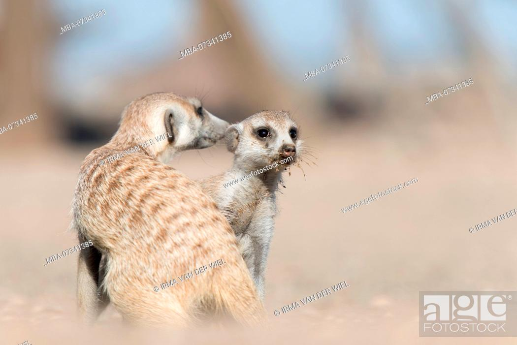 Stock Photo: Two Meerkats (Suricata suricatta) in Namibia, early in the morning.