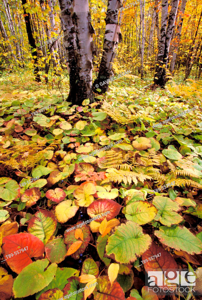 Stock Photo: NA, USA, Minnesota. Noth shore of Lake Superior. forest floor color.