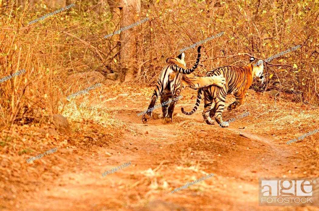 Stock Photo: Tigers male and female panthera tigris tigris playing on forest track , Ranthambore national park , Rajasthan , India.