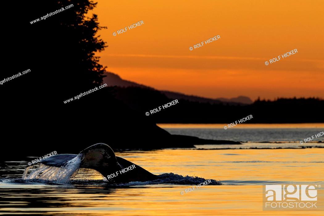 Stock Photo: Humpback whale (Megaptera novaeangliae) lifting its tail for a deep dive during sunset in Weynton Passage of Vancouver Island near the Broughton Archipelago.