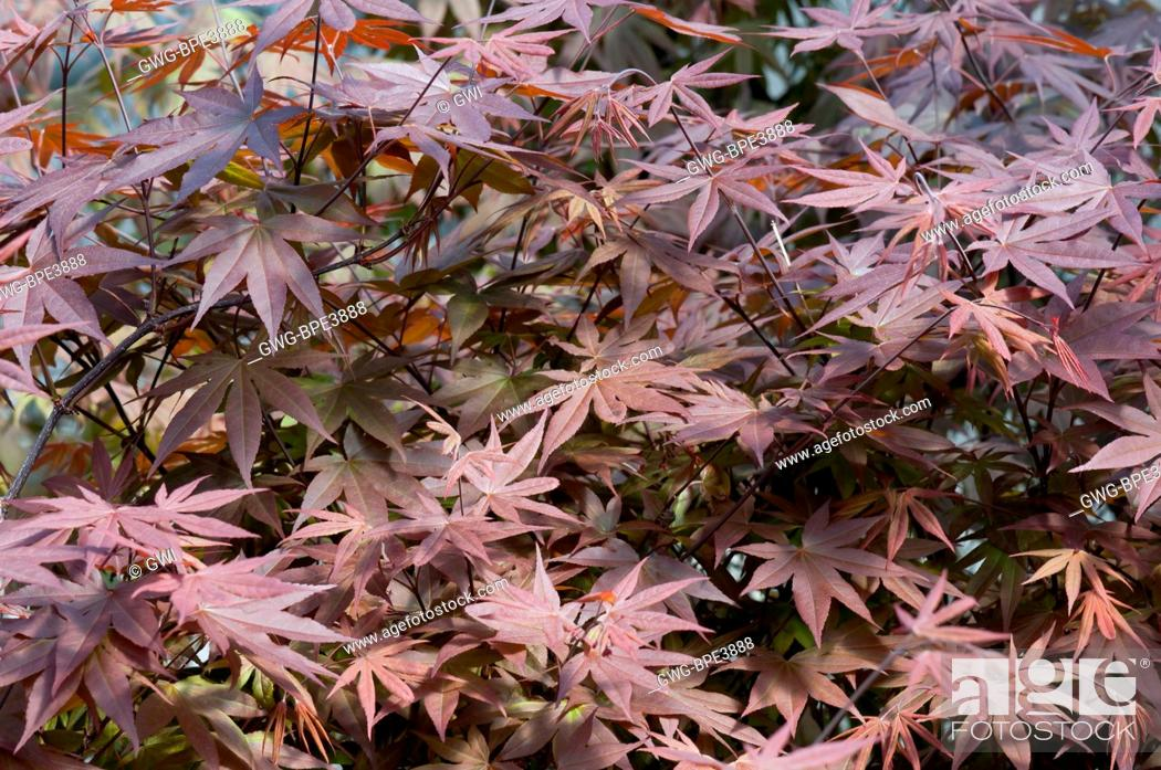 Acer Palmatum Wolff Stock Photo Picture And Rights Managed Image