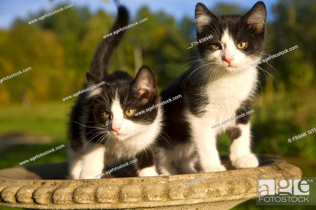 Stock Photo: kittens in birdbath.