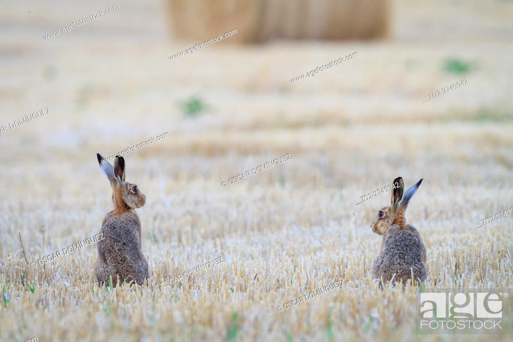 Imagen: European Hare (Lepus europaeus), two sitting in field. Norfolk. England. UK.