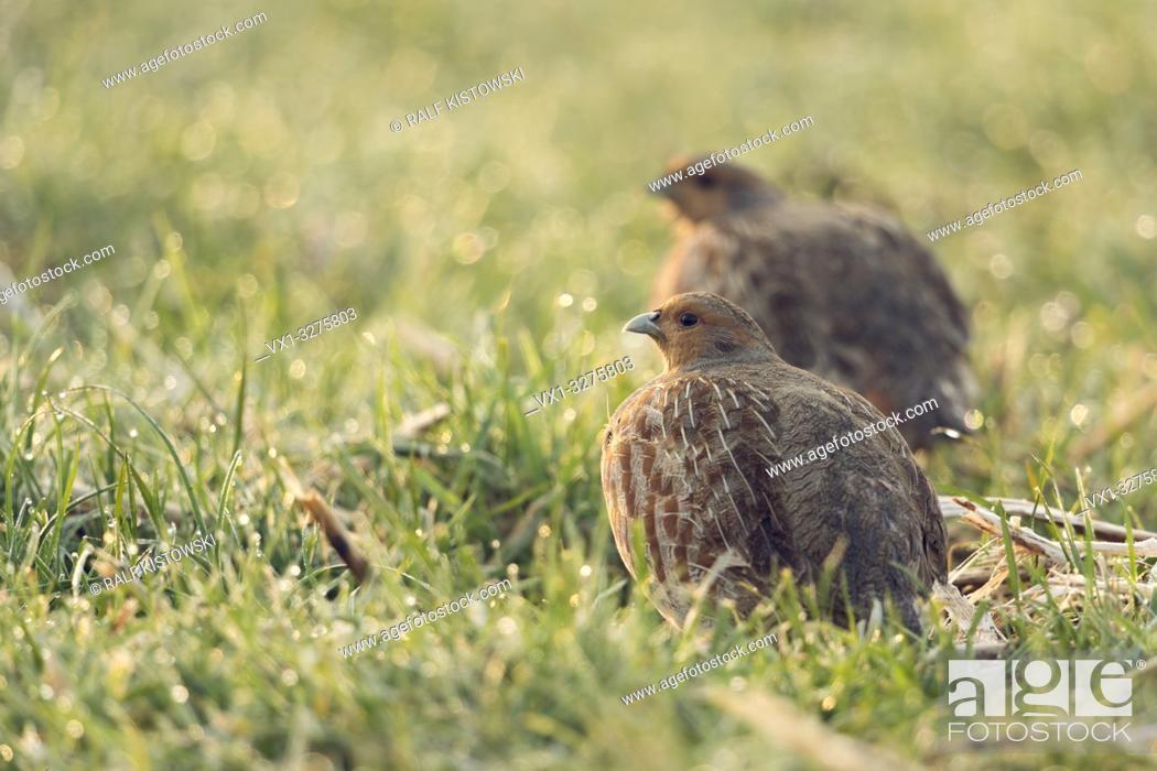 Photo de stock: Grey Partridges ( Perdix perdix ), pair of, sitting in wet grass, early morning backlight situation, watching around for safety. .