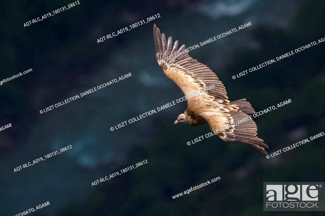 Stock Photo: Griffon Vulture in flight, Griffon Vulture, Gyps fulvus.