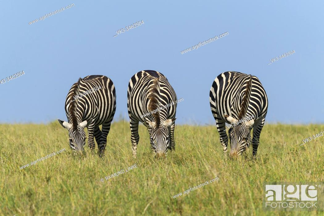 Imagen: Zebra, Equus quagga, three animal, Masai Mara National Reserve, Kenya, Africa.