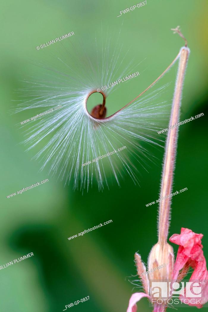 Pelargonium X Hortorum Red