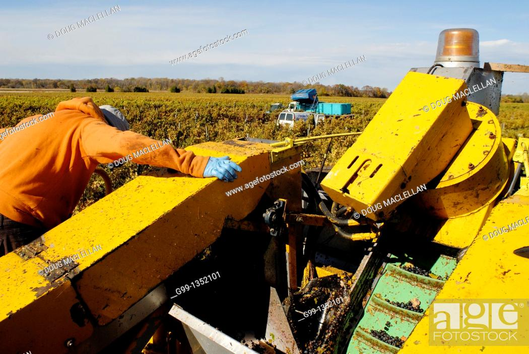 Stock Photo: Canada, Ontario, Colchester. October 2010. Last day of picking grapes for the 2010 vintage.