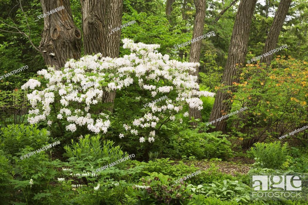Stock Photo: White and orange flowering Rhododendron shrubs, Dicentra spectabilis alba - Bleeding Heart, Brunnera macrophylla - Siberian bugloss plants in mulch border in.