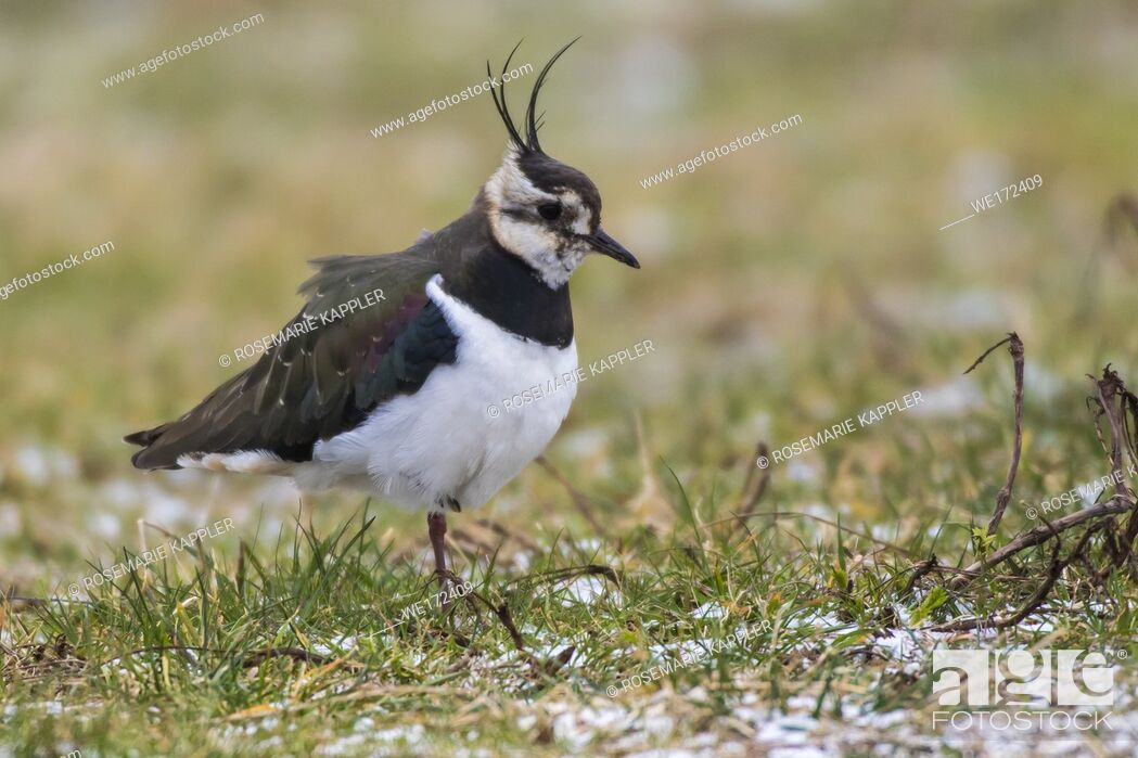 Stock Photo: Germany, Saarland, Homburg - A Lapwing in the biotop of beeden.