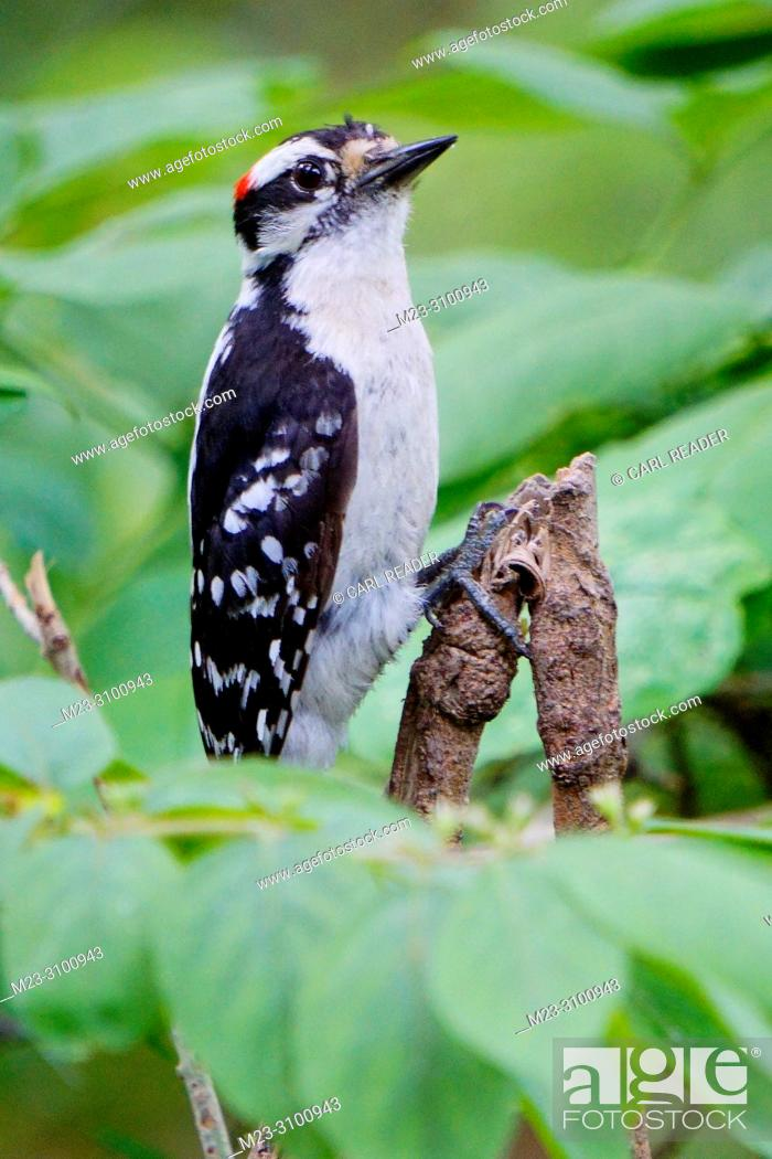 Stock Photo: A male downy woodpecker, Picoides pubescens, hangs on by his tiptoes, Pennsylvania, USA.