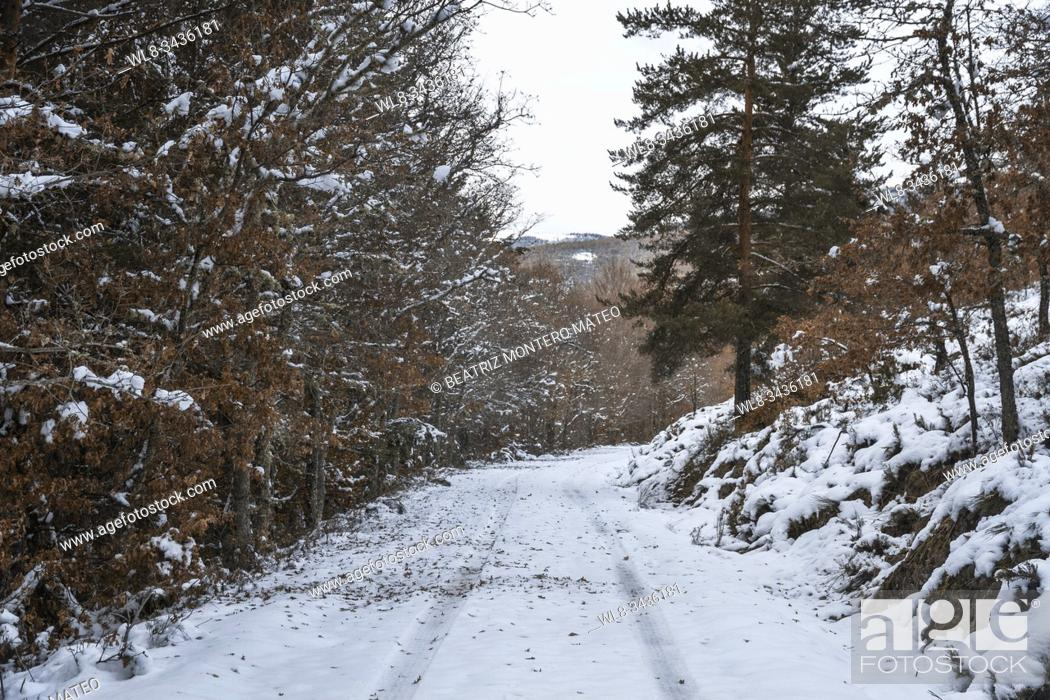 Stock Photo: Snowy road with pine trees in Burgos (Spain).