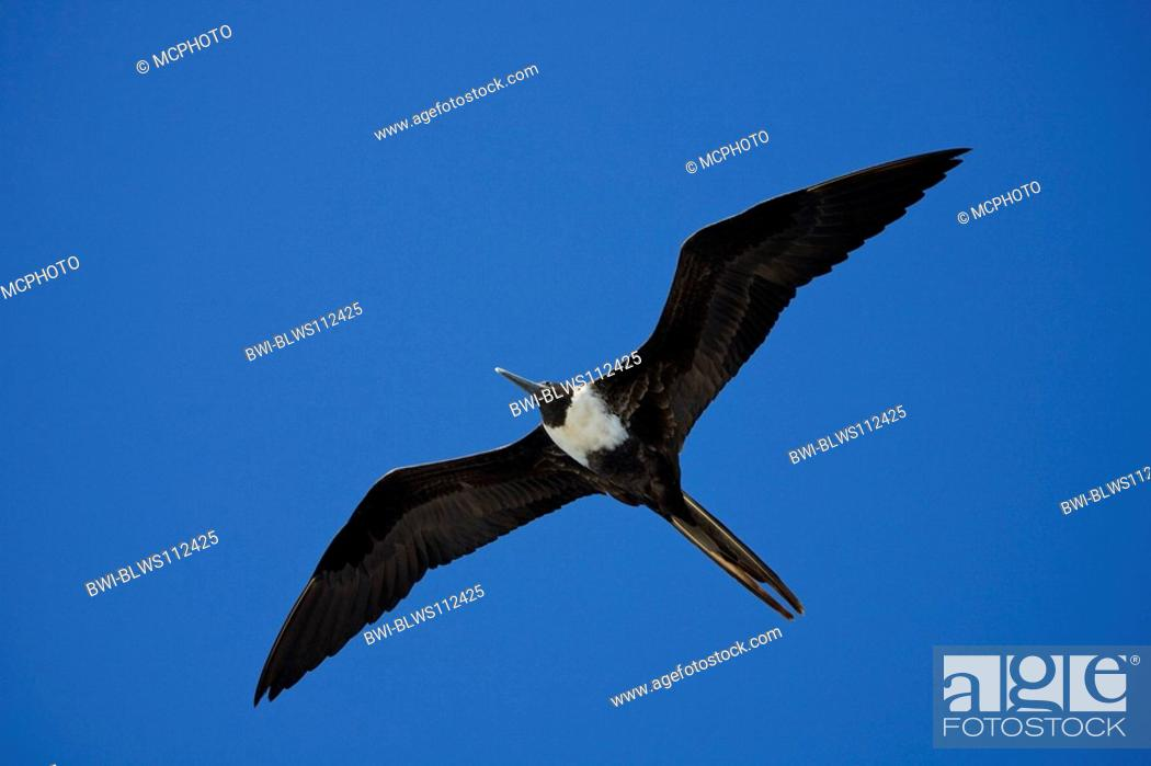 Stock Photo: magnificent frigate bird Fregata magnificens, flying female, Ecuador, Galapagos.
