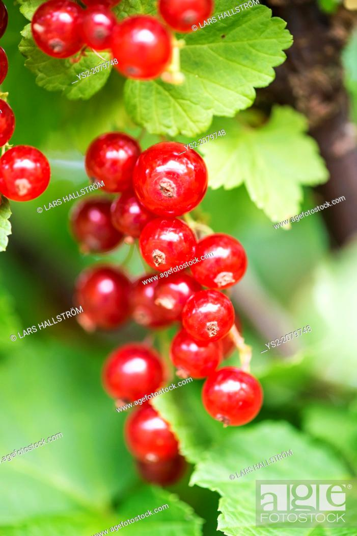 Stock Photo: Red currants (Ribes rubrum) growing in a garden.