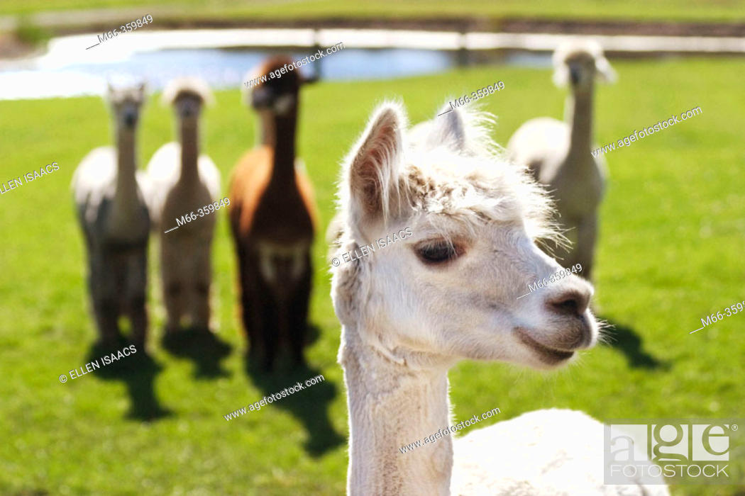 Stock Photo: Smiling alpaca (lama pacos) posing as if it were the leader of the pack. Krystal Acres Alpaca Farm on San Juan Island, Washington, USA.