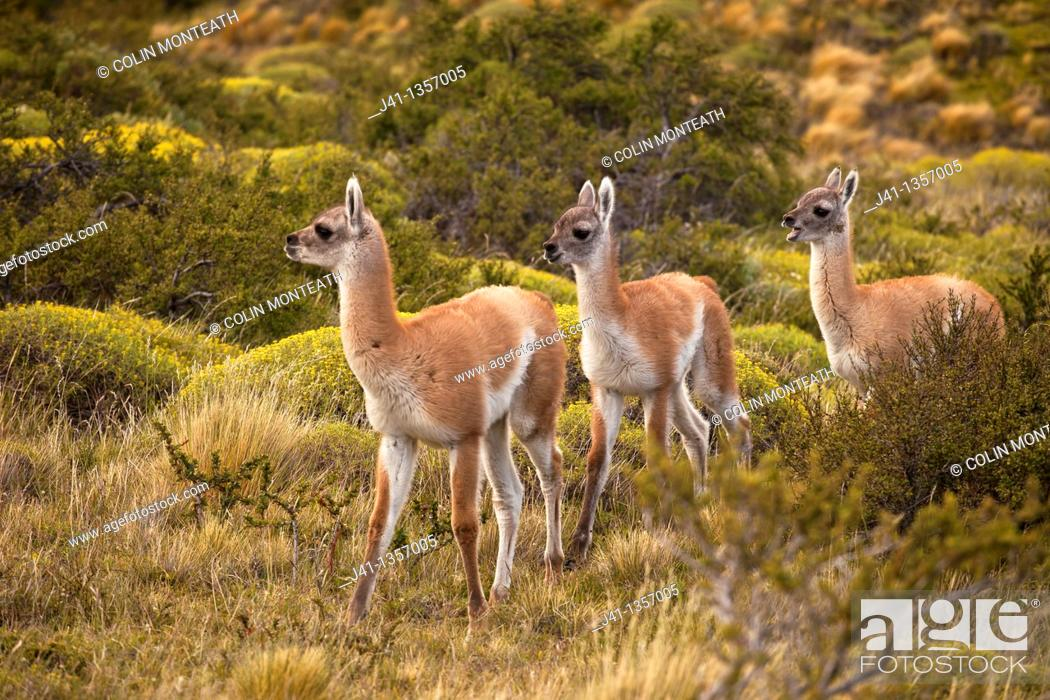 Stock Photo: Guanaco Lama guanicoe youngsters, Parque Nacional Torres del Paine, Patagonia, Chile.