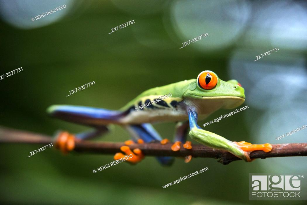 Stock Photo: Red eyed tree frog, Agalychnis callidrias curious treefrog in rainforest Costa Rica, Central America.