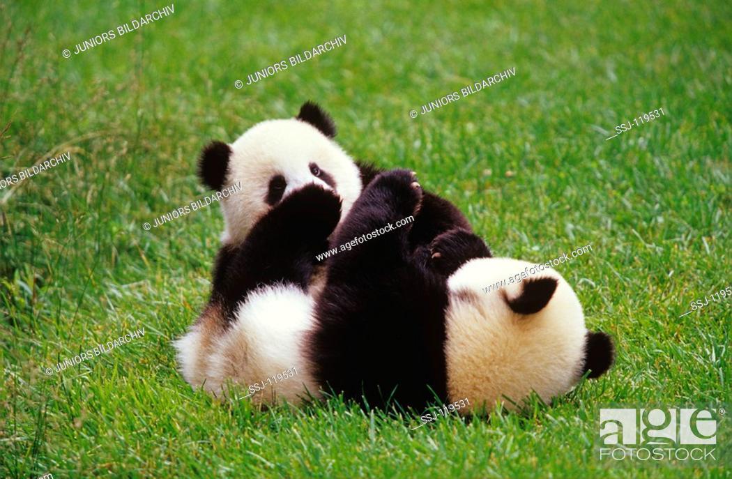 Stock Photo: giant panda - two cubs - playing / ailuropoda melanoleuca.