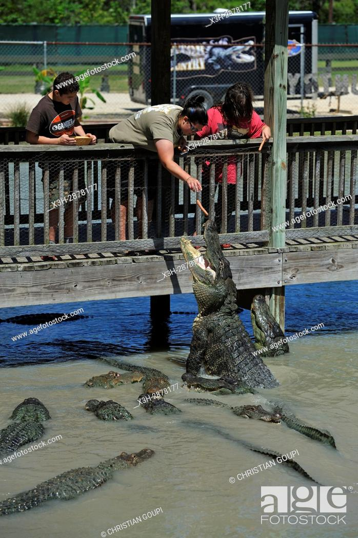 Stock Photo: alligators feeding, Gator Country Wildlife Adventure Park, Beaumont, Texas, United States of America, North America.