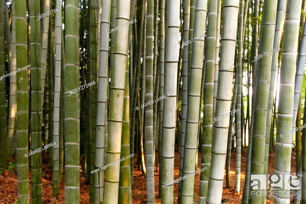 Stock Photo: Bamboo garden, Kodaiji Temple, Gion, Kyoto, Japan.