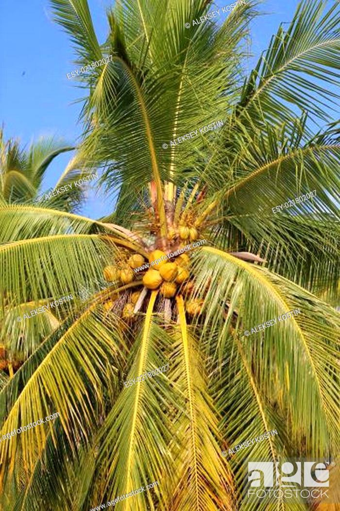 Stock Photo: coconut tree.