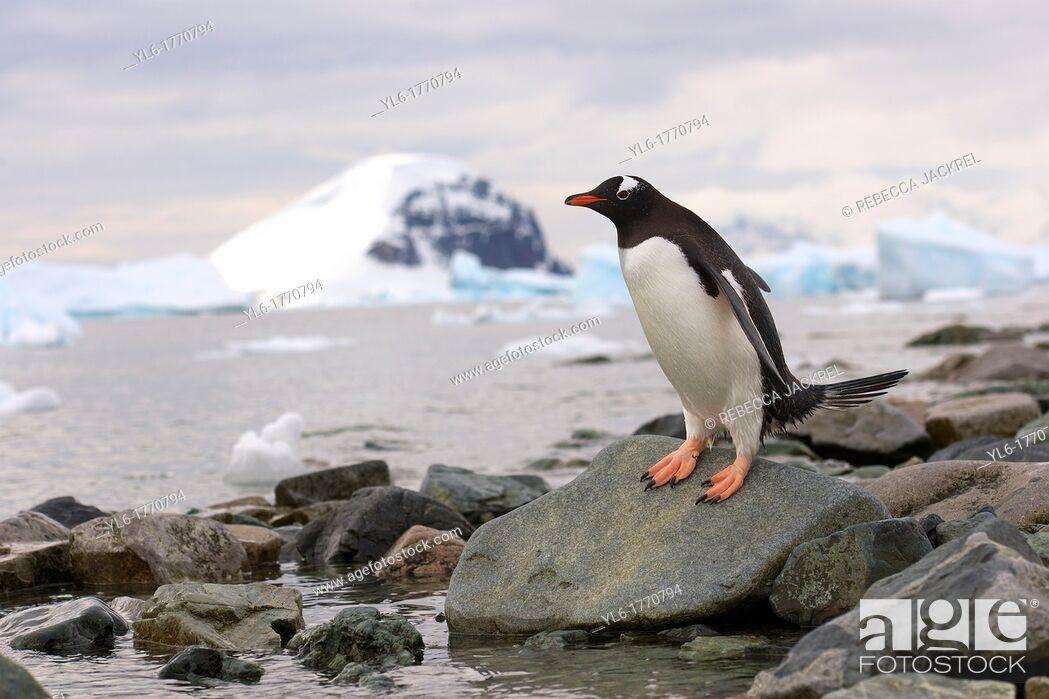 Stock Photo: A gentoo penguin Pygoscelis papua cautiously approaches the waters edge on Danko Island, Antarctic Peninsula.