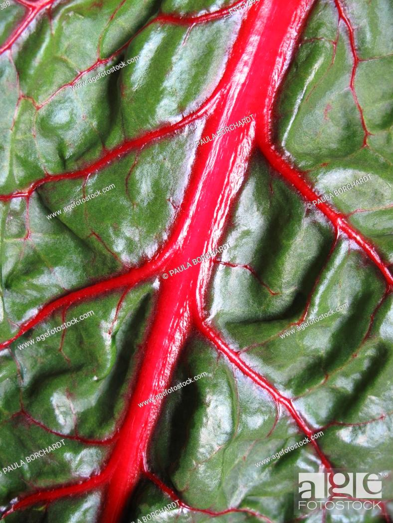 Stock Photo: OrganicSwiss chard from CSA Community Supported Agriculture, Tucson, AZ.