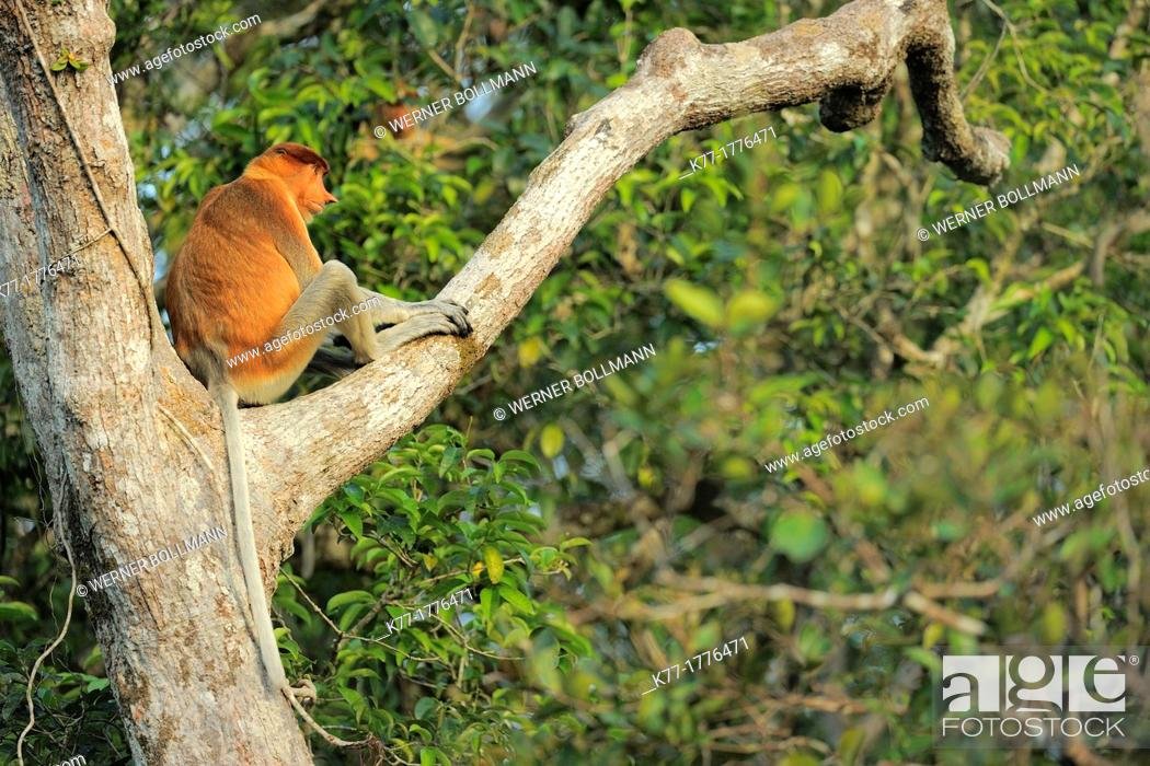 Stock Photo: Proboscis Monkey Nasalis larvatus, Tanjung Puting National Park, Province Kalimantan, Borneo, Indonesia.