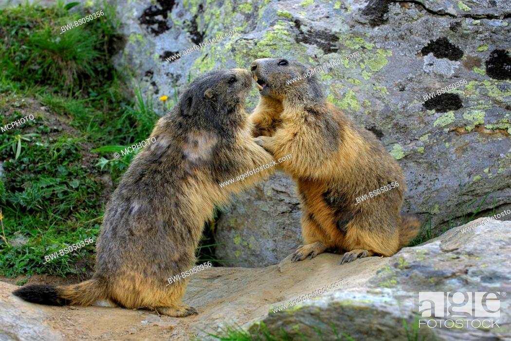 Stock Photo: alpine marmot (Marmota marmota), quarreling, Switzerland.