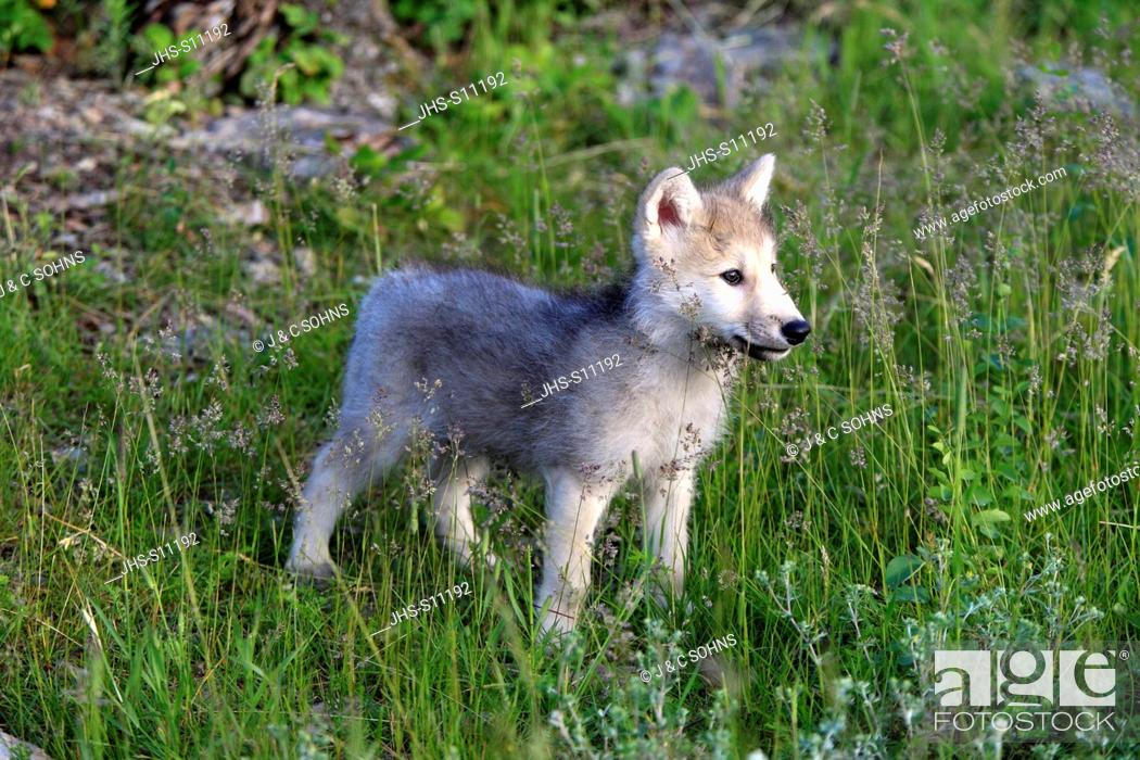 Stock Photo: Gray Wolf,Canis lupus,Montana,USA,North America,young eight weeks old.