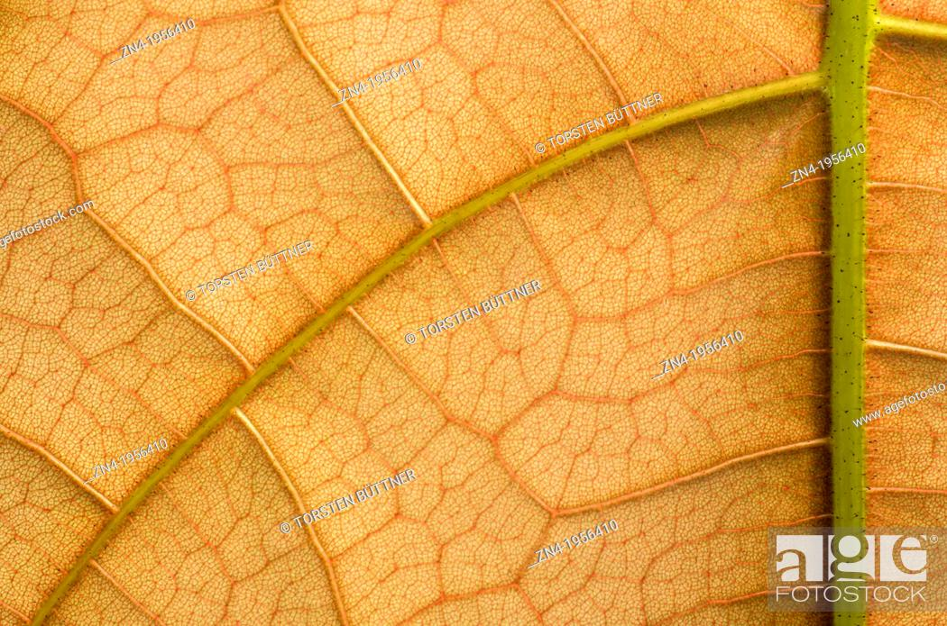 Stock Photo: Leaf Vein and Cell Structure Detail in Botanical Garden Erfurt. Germany.
