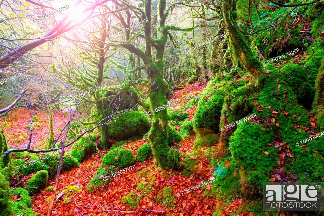 Photo de stock: Autumn Selva de Irati fall beech jungle in Navarra Pyrenees of Spain.