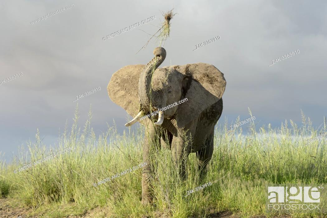 Imagen: Young African elephant (Loxodonta africana) playing with grass on savanna, Amboseli national park, Kenya.