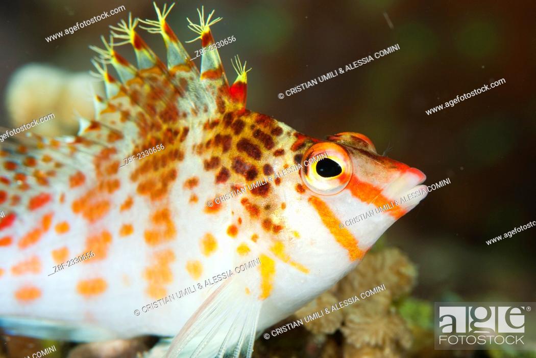 Imagen: Dwarf hawkfish - Cirrhitichthys falco - Moalboal - Cebu - Philippines.