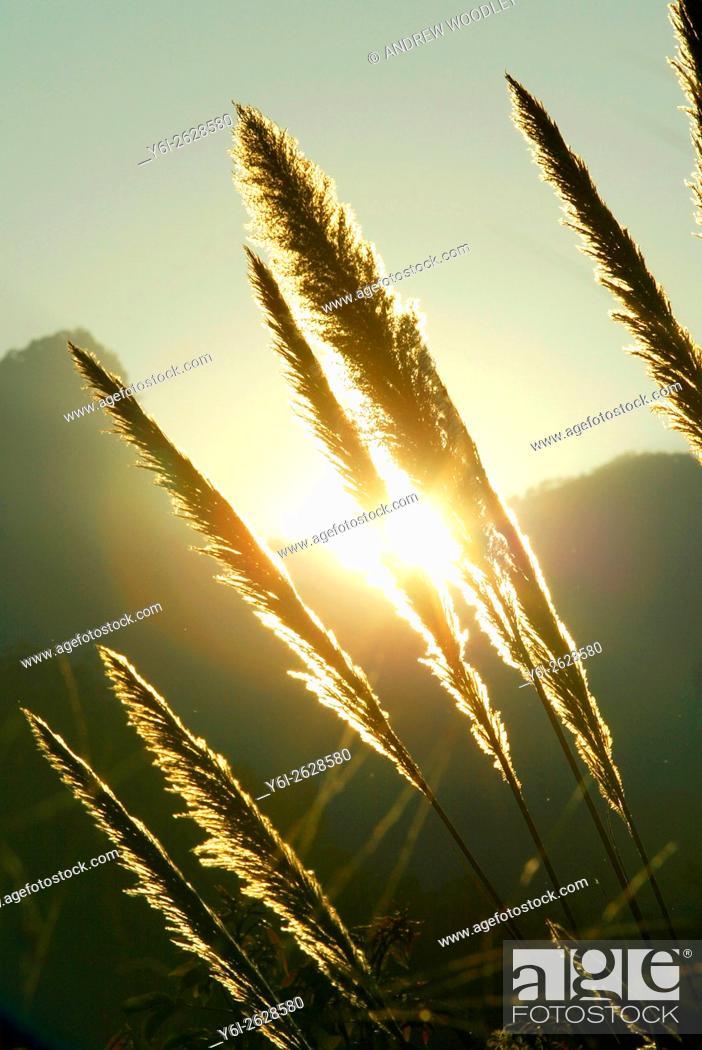Stock Photo: Sunset through long grasses north Thailand.