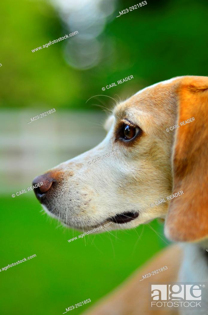 Stock Photo: A side view of a lemon beagle, Pennsylvania, USA.