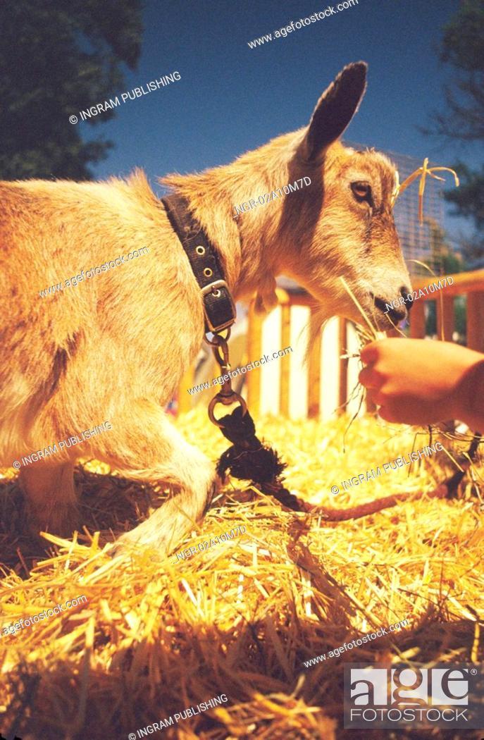 Stock Photo: Hand Feeding Goat in Barn Pen.