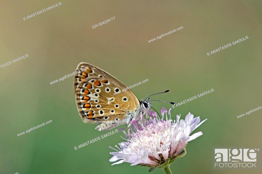 Stock Photo: Common Blue - Polyommatus icarus.