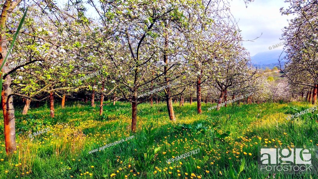 Imagen: Blooming apple tree in spring time near Nava vilage, Comarca de la Sidra, Asturias, Spain.